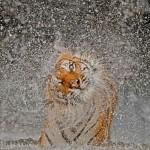 La tigre Busaba dello zoo safari di Khao Keow, in Tailandia.