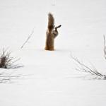 Una volpe scava alla ricerca di cibo.