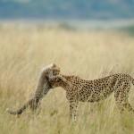 Un momento di tenerezza tra ghepardi.